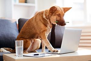 shepherd on laptop